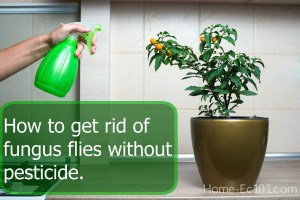 How to get rid of fungus flies naturally